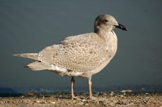 Glaucus-winged Gull (First year)