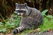Raccoon | raton laveur commun | Procyon lotor