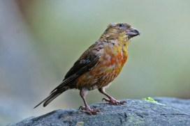 Red Crossbill (immature male) | Bec-croisé des sapins | Loxia curvirostra