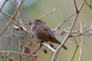 Song Sparrow | Bruant chanteur | Melospiza melodia