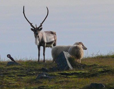 pcgphotography: Iceland Landscapes &emdash; reindeer and sheep