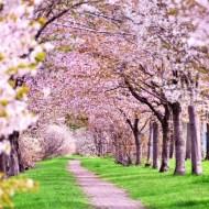 桜 開花 満開 予想 2019年