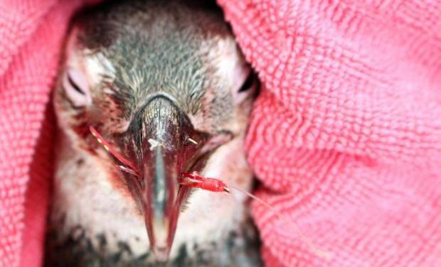 Pinguim com anzol preso no bico é resgatado em Florianópolis