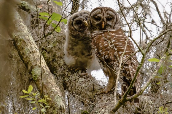 1-barred-owl-adult-owlet