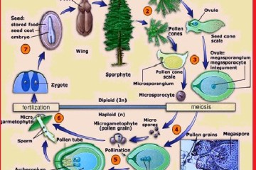 life cycle - gymnosperm
