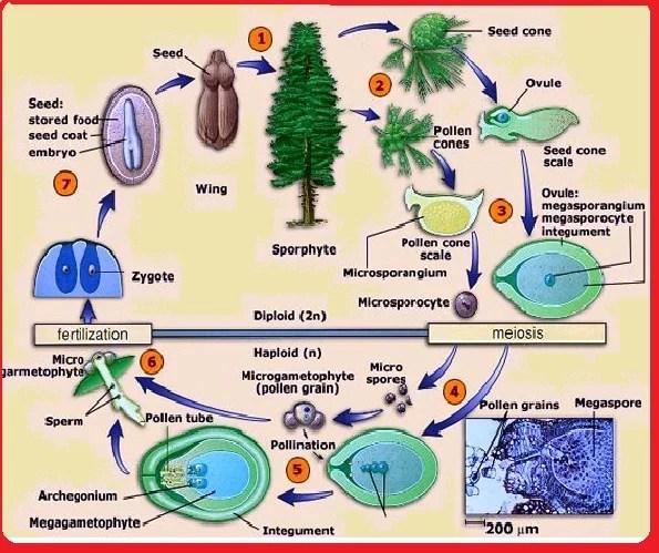 Gymnosperms - reproduction