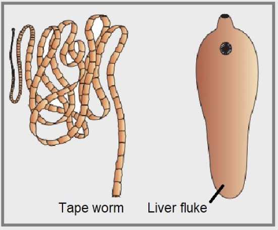 Examples of Platyhelminthes