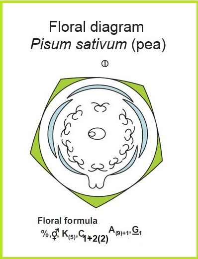 Floral diagram and formula of Fabaceae