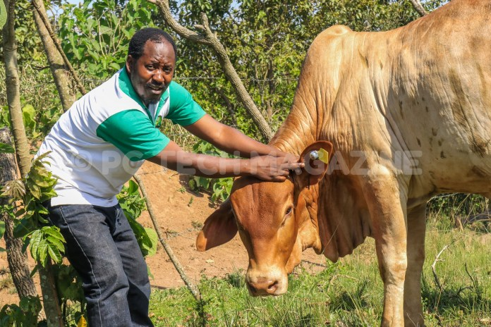 Katamba attaches an ear tag on a bull to monitor its health. Photo by: OLUPOT NATHAN ERNEST/PC TECH MAGAZINE