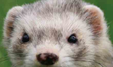 Ferret Medicine and Surgery for the Veterinary Practitioner