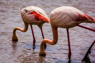 Zooming in two flamingos searching for food