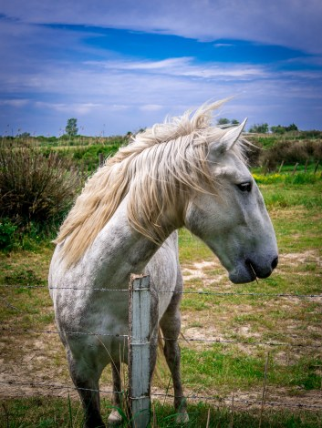 White horse of Camargue. Those horses are initially born gray but as they grow older they grow more and more white hair until they are almost completely white