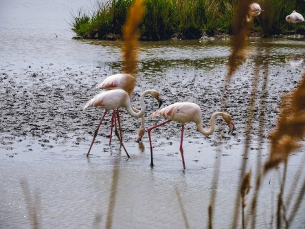 Pink flamingos searching for food