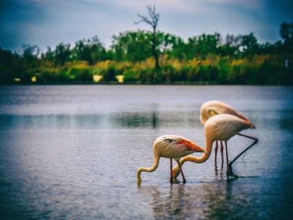 Three flamingoes searching for food