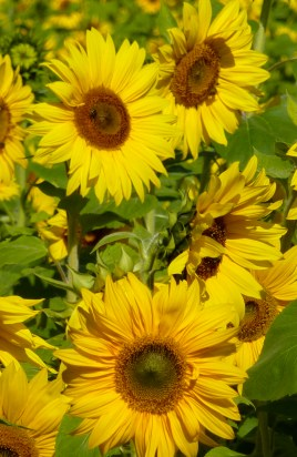 Sunflower detail, Germany