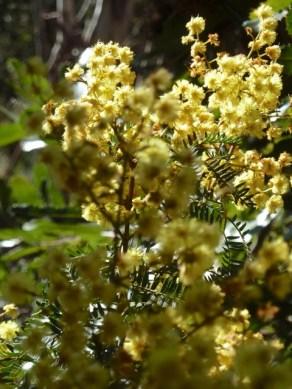 Wattle bouquet