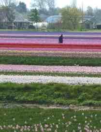 Tulip Inspection, Lisse, The Netherlands