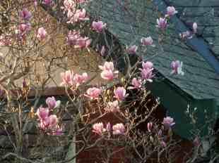 Sydney- magnolia