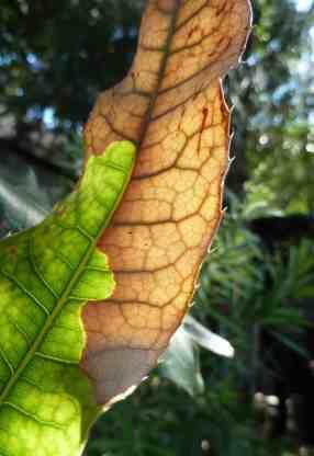 burnt banksia leaf, Sydney