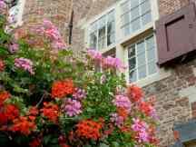 Delft, geraniums