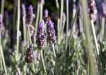 purple lavender Kangaroo Valley