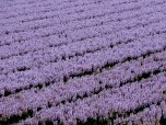 purple hyacinths in bulbfields, the Netherlands