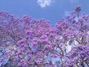 Jacaranda tree, Sydney