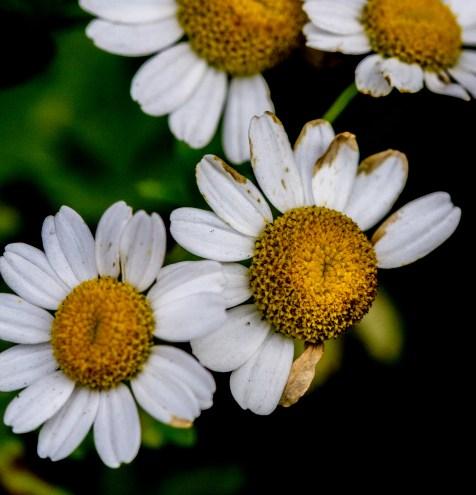dirty daisies
