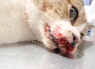 最高 貓 口から血 - 畫像動物フリー