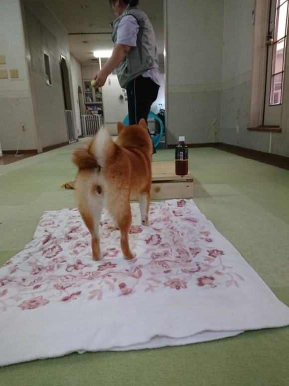 犬のしゃっくりをする。横隔膜のコリ_a0286340_15250679.jpg