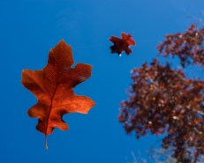 Shot skyward through glass with oak leaf on it, another suspended by fish line