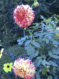 Dahlias growing in a Portland neighborhood