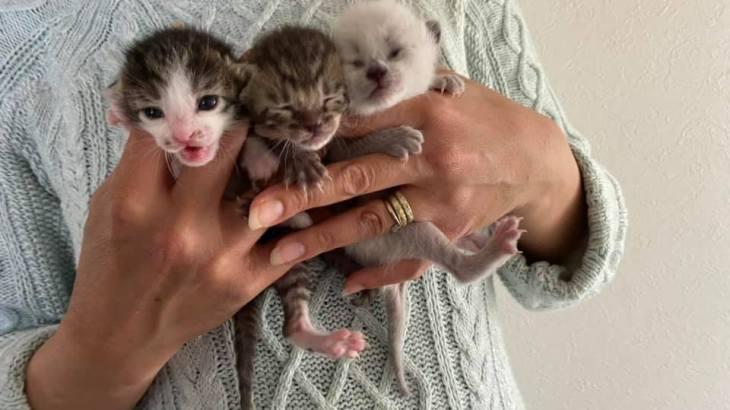 子猫の兄弟の里親募集をシェア