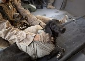 "A U.S. Marine dog handler attends to his his Improvised Detection Dog, after he was injured and rescued by a helicopter of the U.S. Army Task Force Lift ""Dust Off"", Charlie Company 1-214 Aviation Regiment, in Helmand Province, on June 3, 2011. (AP Photo/Anja Niedringhaus) #"