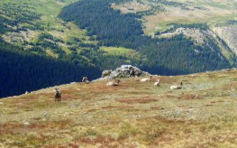 Big Horn Sheep Rocky Mountain N.P.