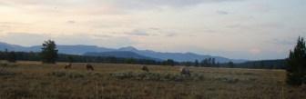 Grazing Elk - Lupine Meadows