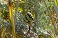 Orb Web Weaver