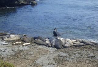 One Happy Elephant Seal