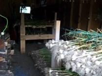 The garlic harvest