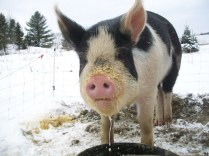 Here's the sweet lady that made it all possible. Her name was Hazel and she was most definately the sweetest pig we have ever had. Thank you Hazel for bringing us joy in life and beyond.