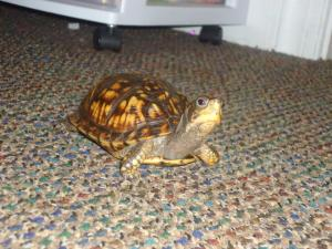 A small turtle walking along the floor.