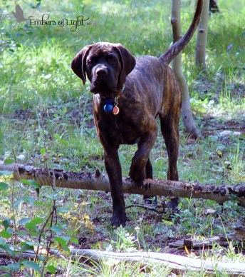 old English Mastiff in meadow