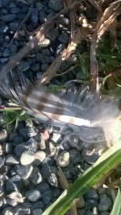 Red-tailed Hawk Feather