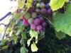 Weintrauben im Garten