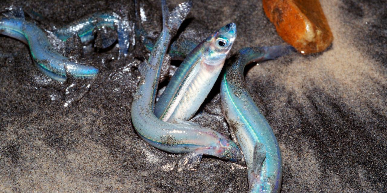 Ed Higgins – Grunion Fishing
