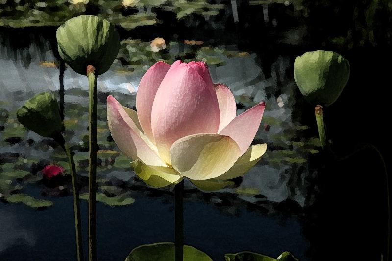 Lotus - Bronx Botanical Garden