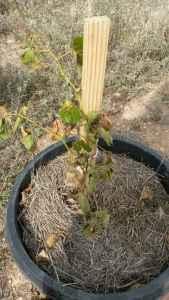 dead grapes