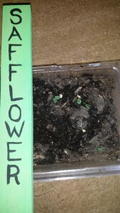 Germinated Safflower