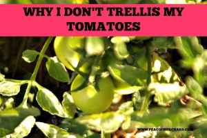 Why I don't trellis my tomatoes