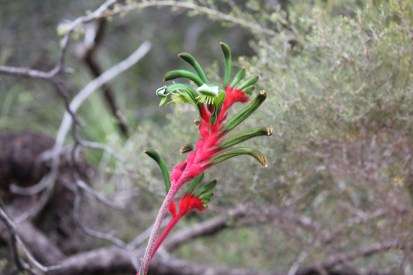 Green and Red Kangaroo Paw